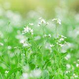 Mộc Châu, có những mùa hoa lạ