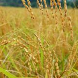 Mùa vàng ở Bình Liêu đẹp long lanh qua flycam